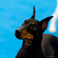 Manchester Terrier Bliss