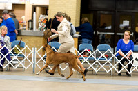 Rhodesian Ridgebacks Friday Specialty Class Judging