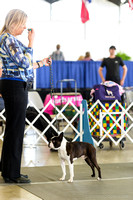 Boston Terriers Best of Breed Judging Sunday