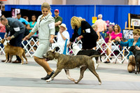 American Staffordshire Terriers Friday Intersex Judging