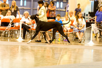 Great Danes Saturday Best of Breed Judging