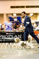 Petit Basset Griffon Vendeen Friday Pt3 Best of Breed Judging