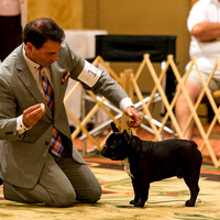French Bull Dog Club of America Nationals 2015
